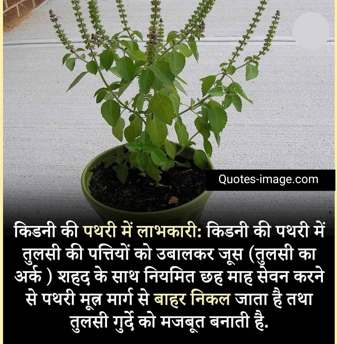 Facts About Health | Facts About Tulsi | Holy Basil